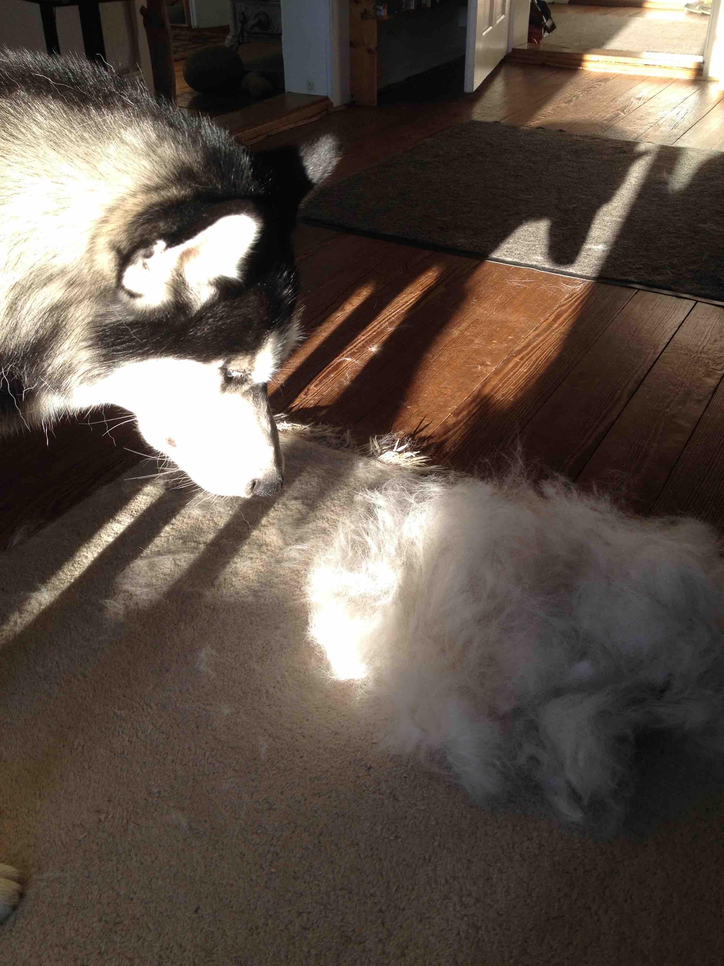 Mika betrachtet sein Haartier